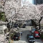赤坂スペイン坂の桜